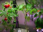 20.5 weeks : peppers RIP