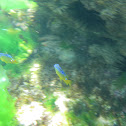 Cocoa damselffish