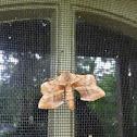 Walnut Sphinx Moth