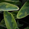 Salvia, colored