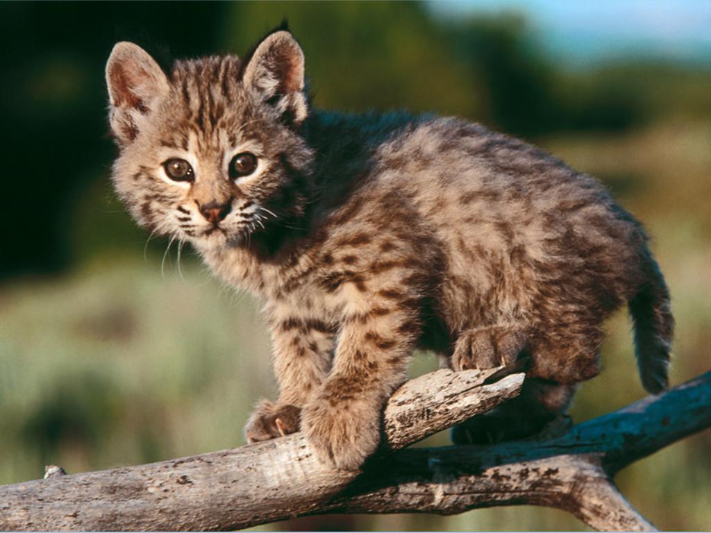 baby_bobcat.jpg