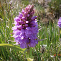 Pyramidical Orchid
