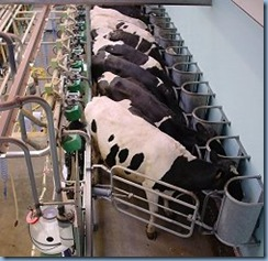 dairy_cows_milking_23