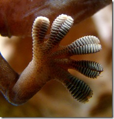 574px-Gecko_foot_on_glass