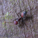 Red-Black Ant