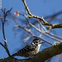 Female Nuttall's Woodpecker