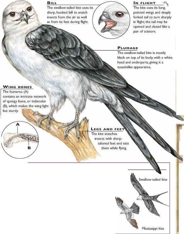 American Swallow Tailed Kite Birds