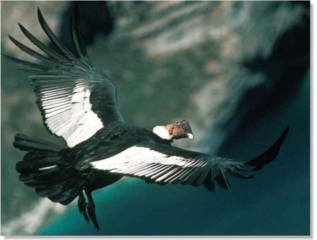 Andean Condor Birds