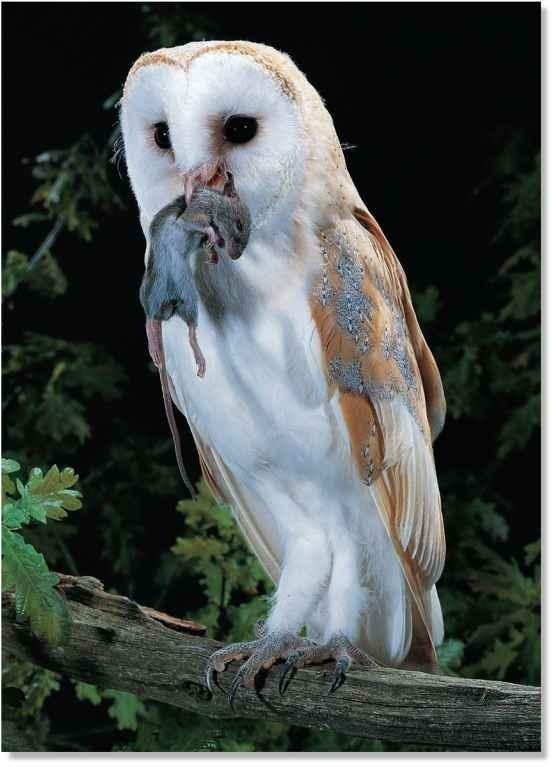 Barn Owl (Birds)