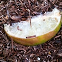 Rotten Lemon