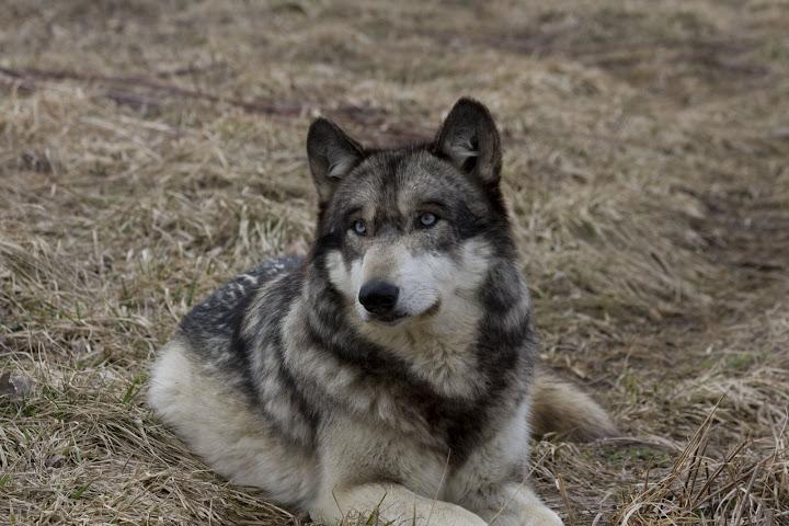 الجن والأنس على حد سواء هل تعلم ان الذئب هو