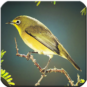 Kicau Master Burung - Android Apps on Google Play