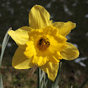 Lent lily, Wild daffodil