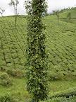 Indyjskie plantacje i uprawy