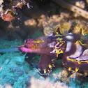 Flambuoyant Cuttlefish