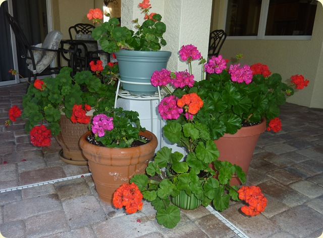My geraniums are going CRAZY!