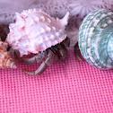 Terrestrial Hermit Crabs