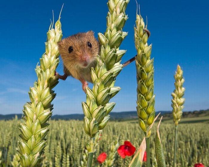 harvest-mice (10)