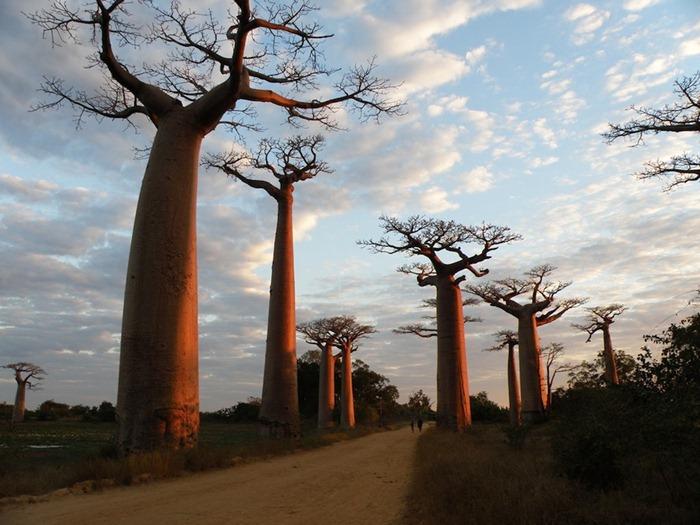 Baobab: The Upside-Down Tree | Amusing Planet