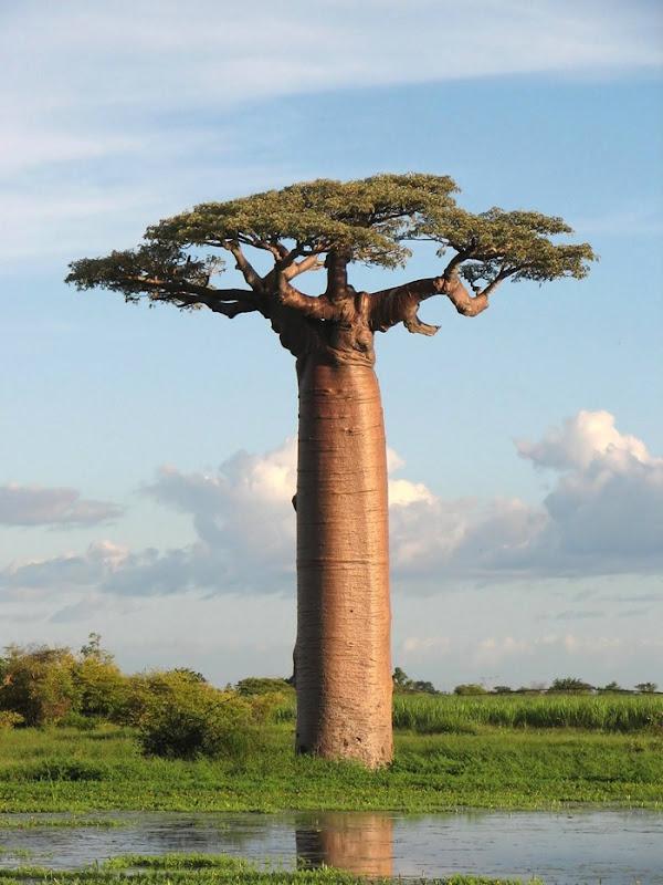 The Fruit Of Baobab Broke Open