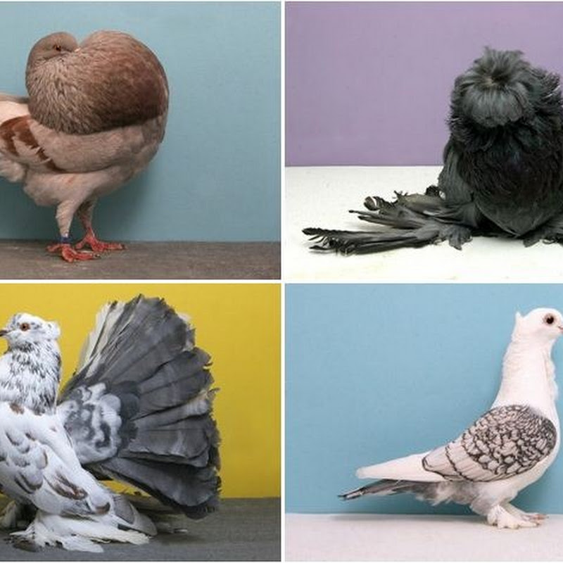 "National Pigeon Association's ""Grand National"" Pigeon Show"