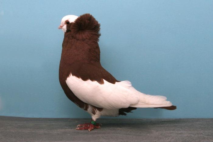 National Pigeon Association S Grand National
