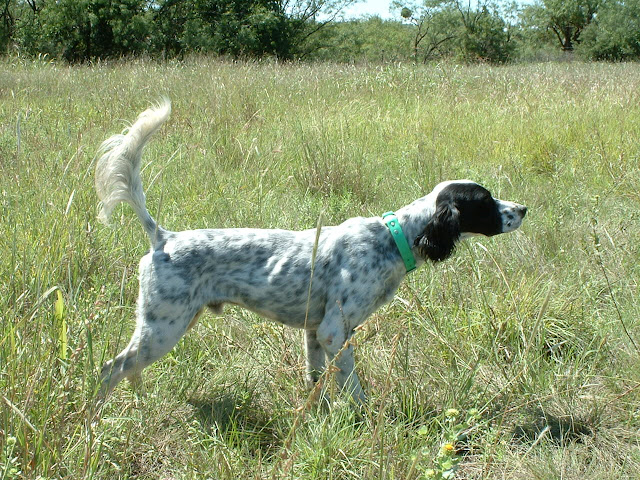 Barr Kennels - Texas English Pointer, English Setter, Labrador