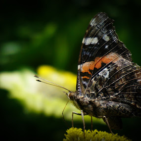Butterfly by VAM Photography - Animals Insects & Spiders ( butterfly, park, nature, nyc, insect )