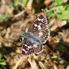 Common/White Checkered-Skipper Butterfly