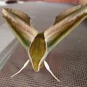 Yam Hawk Moth