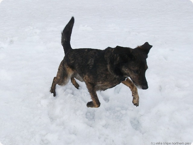 bruno pounces on some snow.