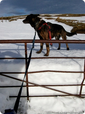 gate dog snowdrift