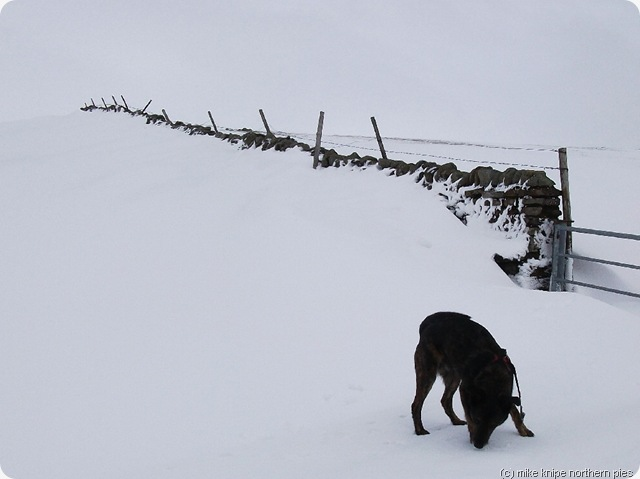bruno searches unsuccessfully for the snowdrift