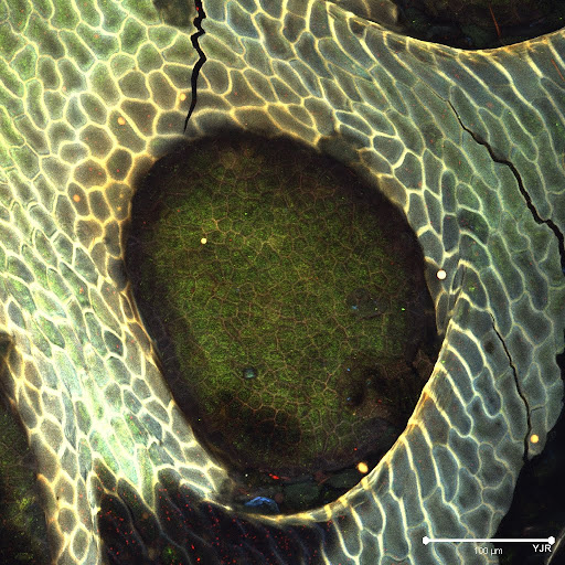 Nepenthes%20gland%20scaled.jpg
