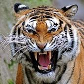 Tigres del papel pintado