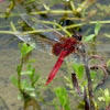 dragonfly in red color