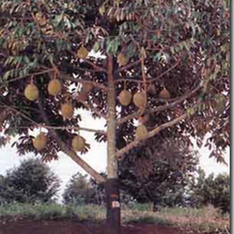 Budidaya Durian