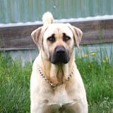 Olympic Dogs : olympicdogs net, Kangal x Boerboel