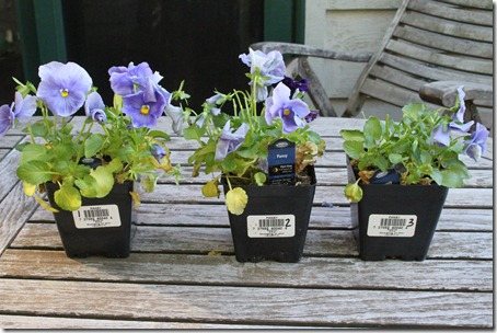 Pansies After