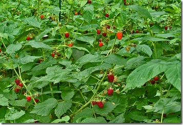 rasberry bushes