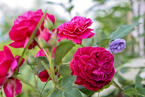 Vw garden 39 munstead wood 39 english rose for What colour roses can you get