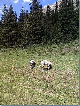 07152010_mtn goats highwood pass