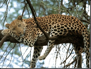 jaguar spotted in tree