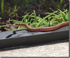 Snake at the pool1