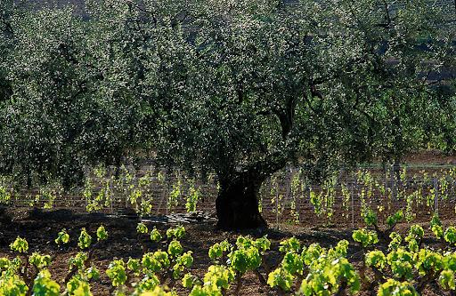 Olivera i vinyes de la DO Montsant, Capanes, Priorat, Tarragona 1997