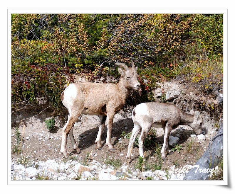 加拿大 Lake Minnewanke 旁 大角羊
