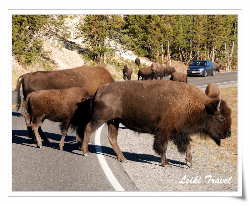 黃石公園野牛