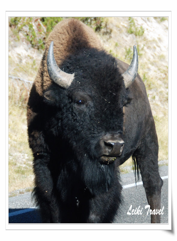 黃石公園野牛近照