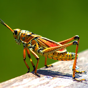 Grasshopper (Romalea guttata) by Elfie Back - Animals Insects & Spiders (  )