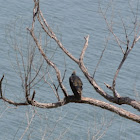 Juvenile Turkey Vulture